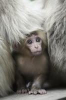 Baby Japanese macaque peeking out from its mother's fur.