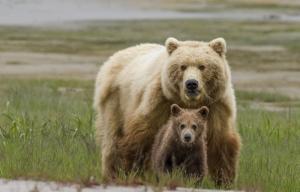 ThomasKokta_Grizzlybear_wildlife-1