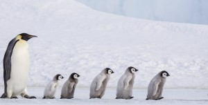 Empeor penguins